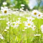 daisies-798539_1920