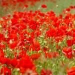 poppy-803846_1920